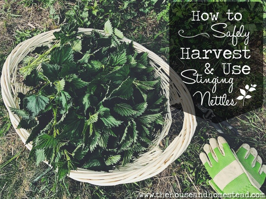 How to Safely Harvest and Use Stinging Nettles