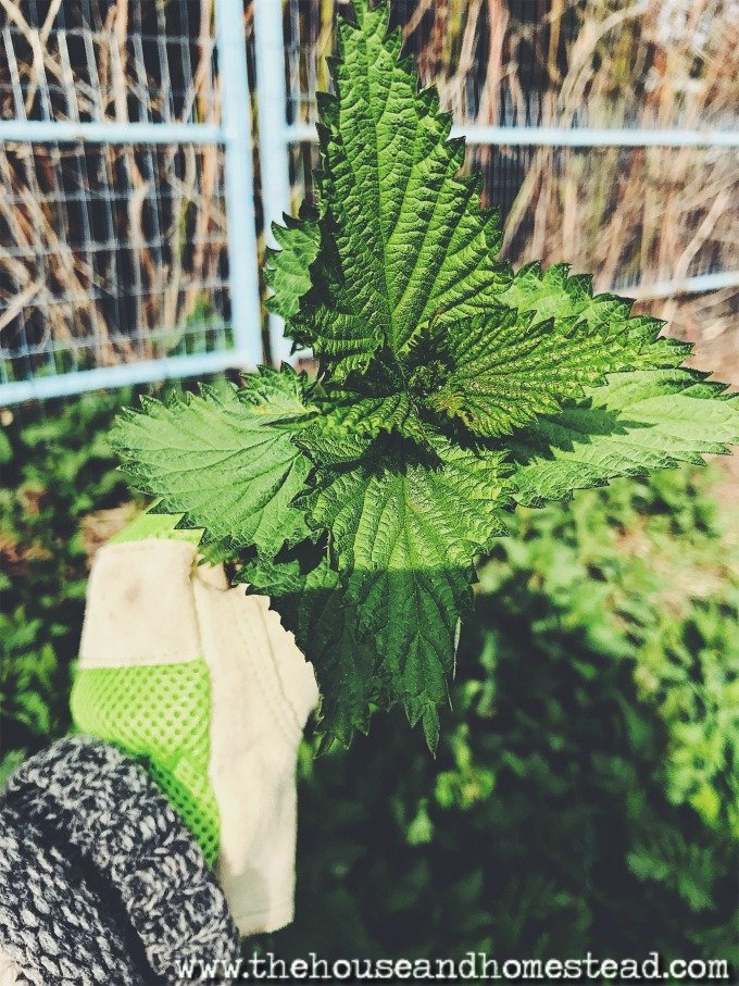 Stinging nettles are packed with vitamins and minerals and grow abundantly throughout North America (and the world!) Learn about the many benefits of foraging for stinging nettles as well as how to identify, harvest and prepare them without getting stung!
