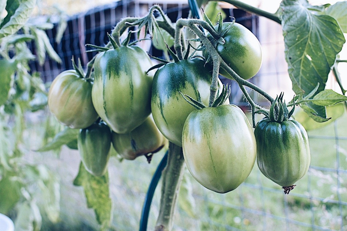 Learn how to start tomato seeds, how to care for tomato seedlings, how to transplant tomatoes and how to get abundant tomato harvest. #growtomatoes #tomatoesfromseed