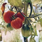 Learn how to grow tomatoes from seed with these step-by-step instructions and enjoy fresh or preserved homegrown tomatoes from your own garden all year long! Learn how to start tomato seeds, how to care for tomato seedlings, how to transplant tomatoes and how to get an abundant tomato harvest from your garden. #growtomatoes #tomatoesfromseed