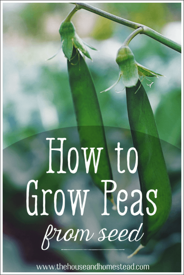 Peas are one of the easiest and most rewarding vegetables to grow in your home garden. Learn how to grow peas from seed with these simple instructions and grow your own homegrown peas this gardening season! #howtogrowpeas #growpeasfromseed