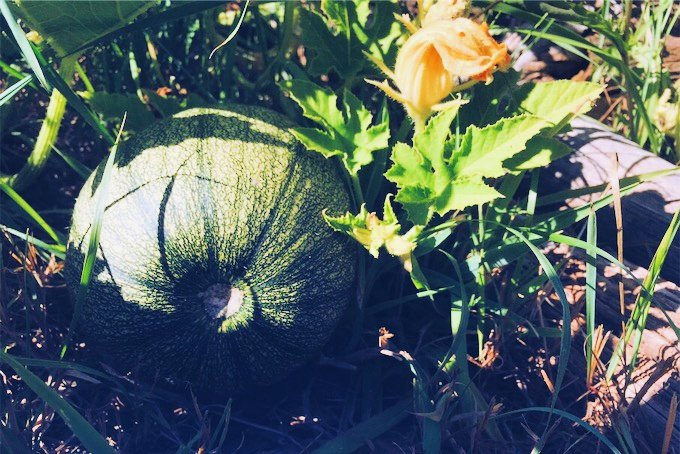 Young green pumpkin on the vine