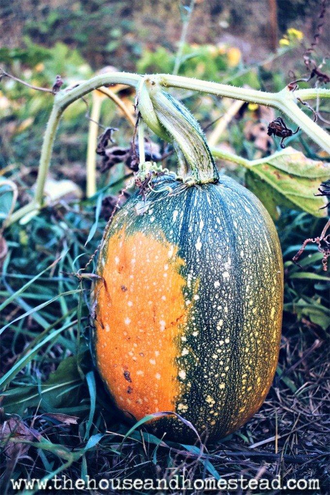 pumpkin spaghetti squash hybrid
