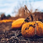 Learn how to grow pumpkins from seed and start your very own pumpkin patch in your home garden! #howtogrowpumpkins #growpumpkinsfromseed