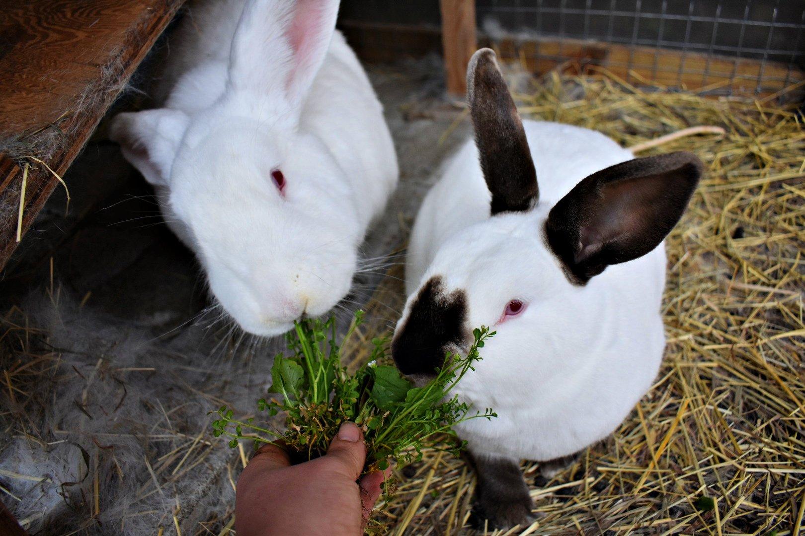 Spring bunnies in their pen