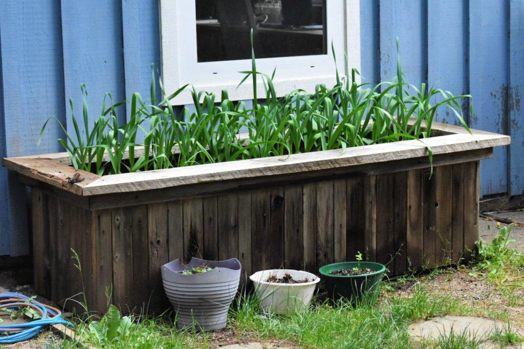 Homegrown garlic patch