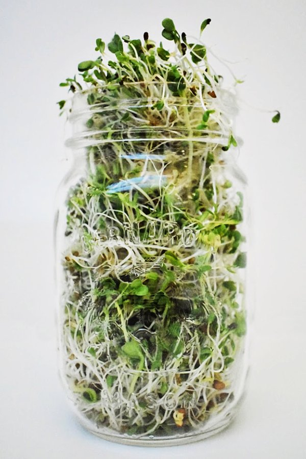 How to grow sprouts indoors | Indoor growing | Grow food indoors | Grow sprouts in sprouting trays | Grow sprouts in Mason jars