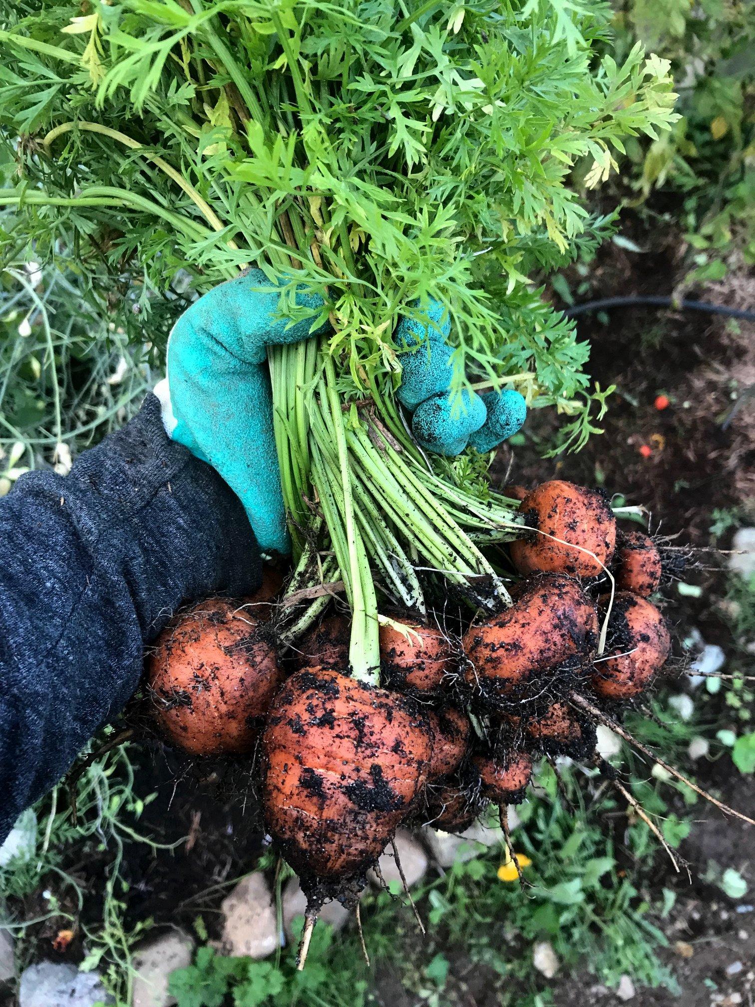 How to Grow An Heirloom Vegetable Garden | How to Grow Heirloom Vegetables At Home | Heirloom Gardening | Organic Gardening | Heirloom Carrots | Paris Market Carrots