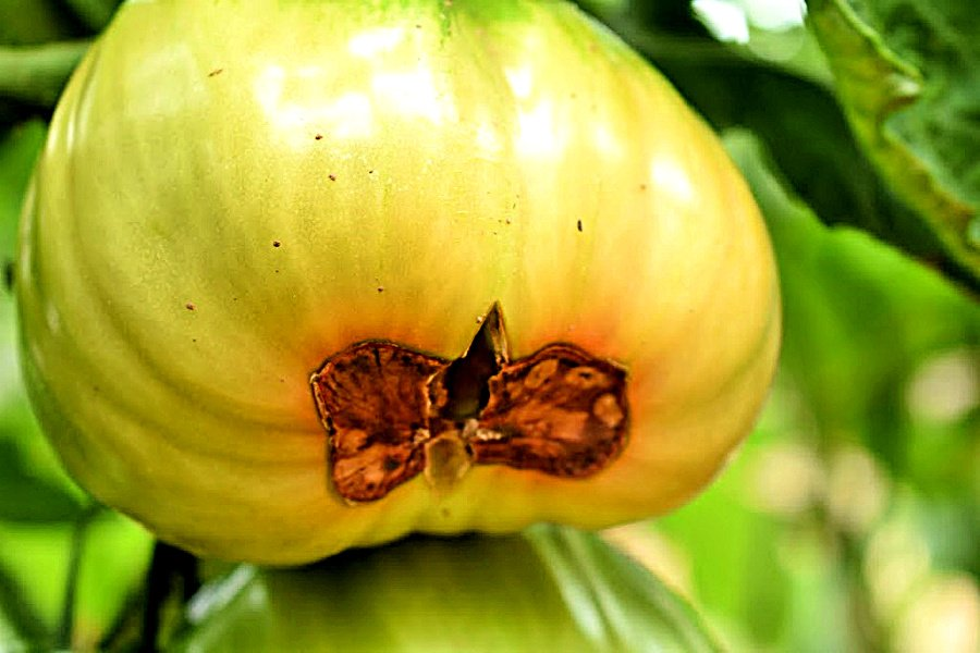 Blossom End Rot | 6 Hacks for Growing A Bumper Crop of Tomatoes