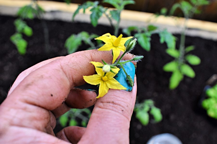 Pinching off tomato blossoms | 6 Hacks for Growing A Bumper Crop of Tomatoes