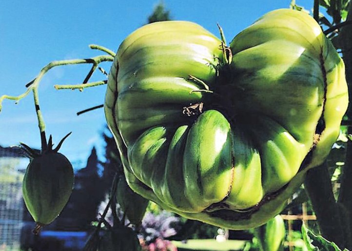 Catfacing in Tomatoes | 6 Hacks for Growing A Bumper Crop of Tomatoes