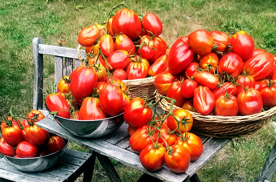 6 Hacks for Growing a Bumper Crop of Tomatoes