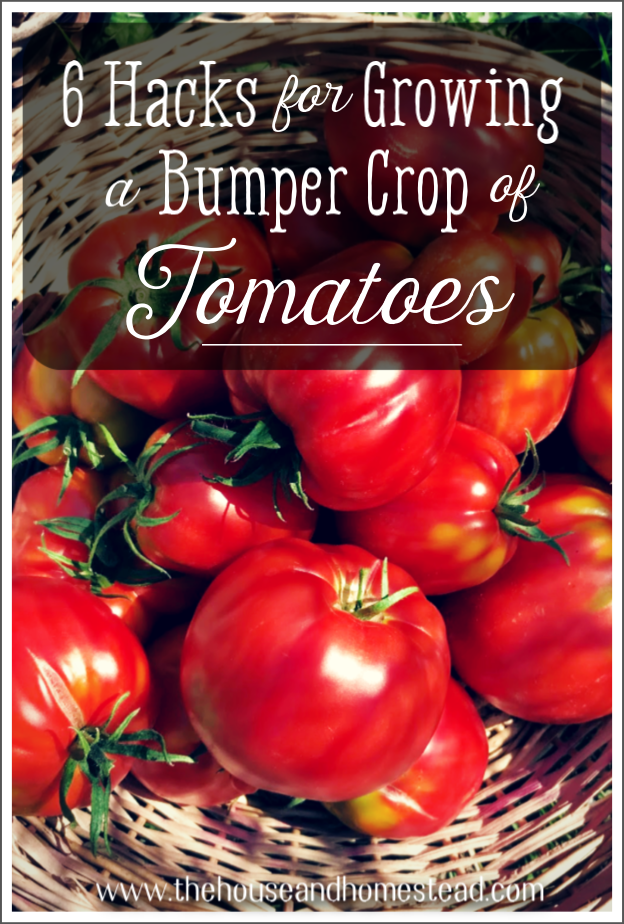 Tomatoes are one of the most versatile and rewarding crops to grow at home. Here are 6 hacks to help you grow a bumper crop of tomatoes and maximize production from your tomato plants! #howtogrowtomatoes #growabumpercropoftomatoes #tomatogrowingtips #tomatogrowinghacks