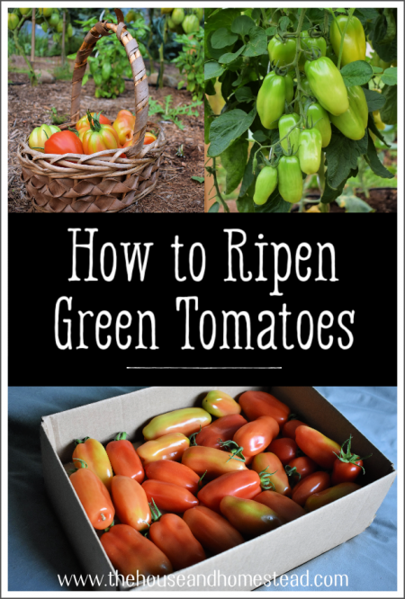 Do you still have tomatoes that are struggling to redden? Read on for an easy method to ripen green tomatoes indoors with almost no effort!