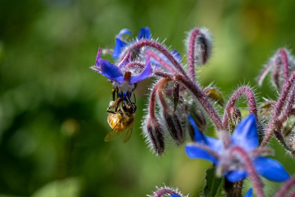 Bee on a borage flower | Honeybeesalone are responsible for pollinating 80% of fruits and vegetables globally. Learn what you can do at home to help save the bees!