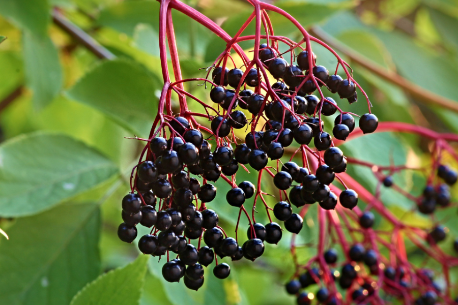 Elderberries are well known for their ability to boost immunity and treat cold and flu symptoms. Enjoy the many medicinal benefits of elderberries with this homemade elderberry syrup recipe, made with immune-boosting spices and raw, unpasteurized honey. #elderberrysyrup #homemadeelderberrysyrup #elderberrysyruprecipe